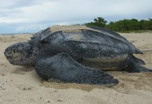 Tortuga Cardón. Foto: U.S. Fish and Wildlife Service Southeast Region. Licencia Creative Commons BY 2.0.
