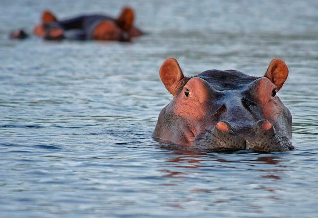 Exóticas invasoras: los hipopótamos de Pablo Escobar en Colombia.