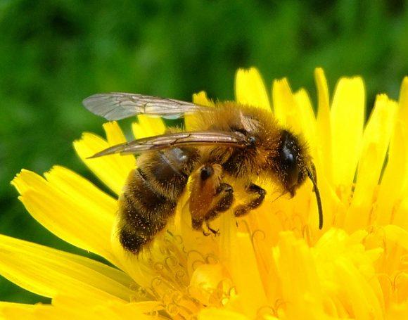 Se extinguen las abejas, llega el fin del mundo