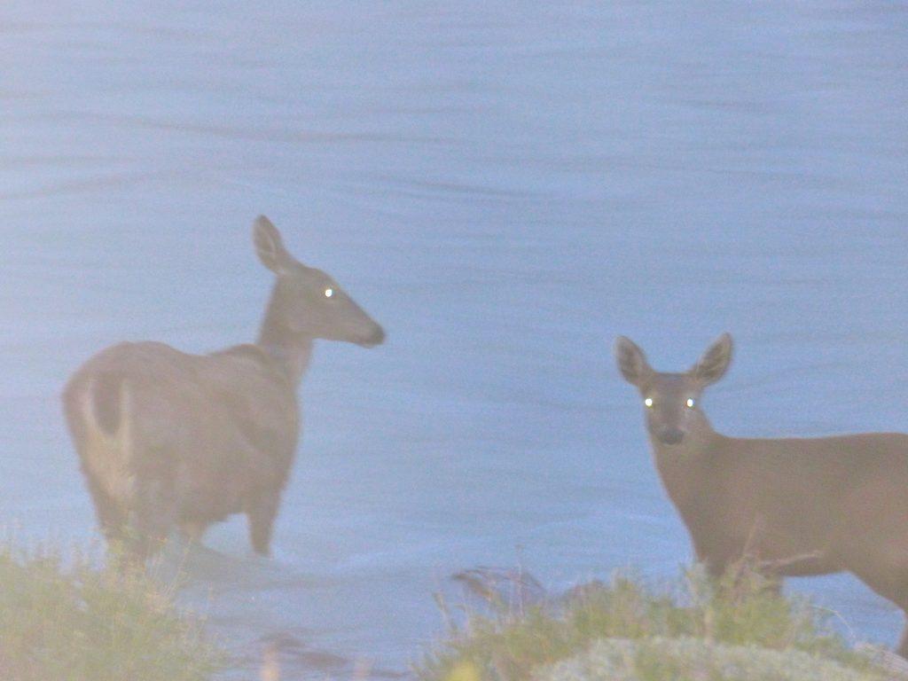 Esperanza, la hembra de huemul monitoreada por el Programa de Conservación del Huemul de Parques Nacionales y su cría. Foto: Silvia Molina. Cedida para su uso por la Administración de Parques Nacionales.