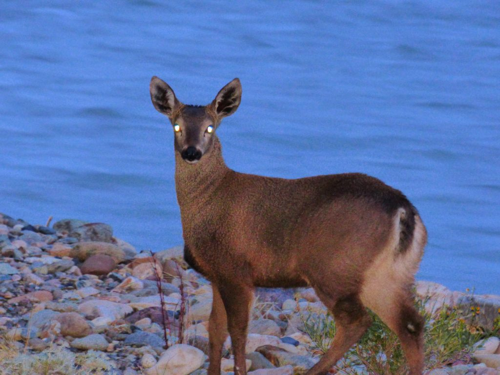 Cría de Esperanza, la hembra de huemul monitoreada por el Programa de Conservación del Huemul de Parques Nacionales. Foto: Silvia Molina. Cedida para su uso por la Administración de Parques Nacionales.