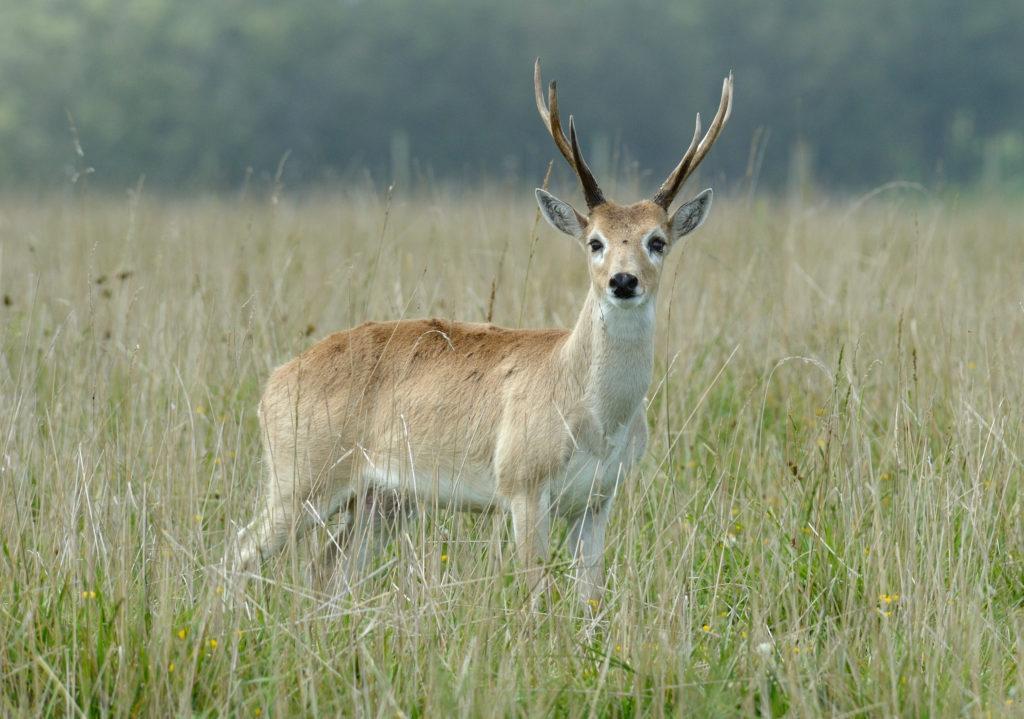 Venado de las Pampas (Ozotoceros bezoarticus). Foto: Fedaro. Licencia: Creative Commons CC BY-SA 4.0.