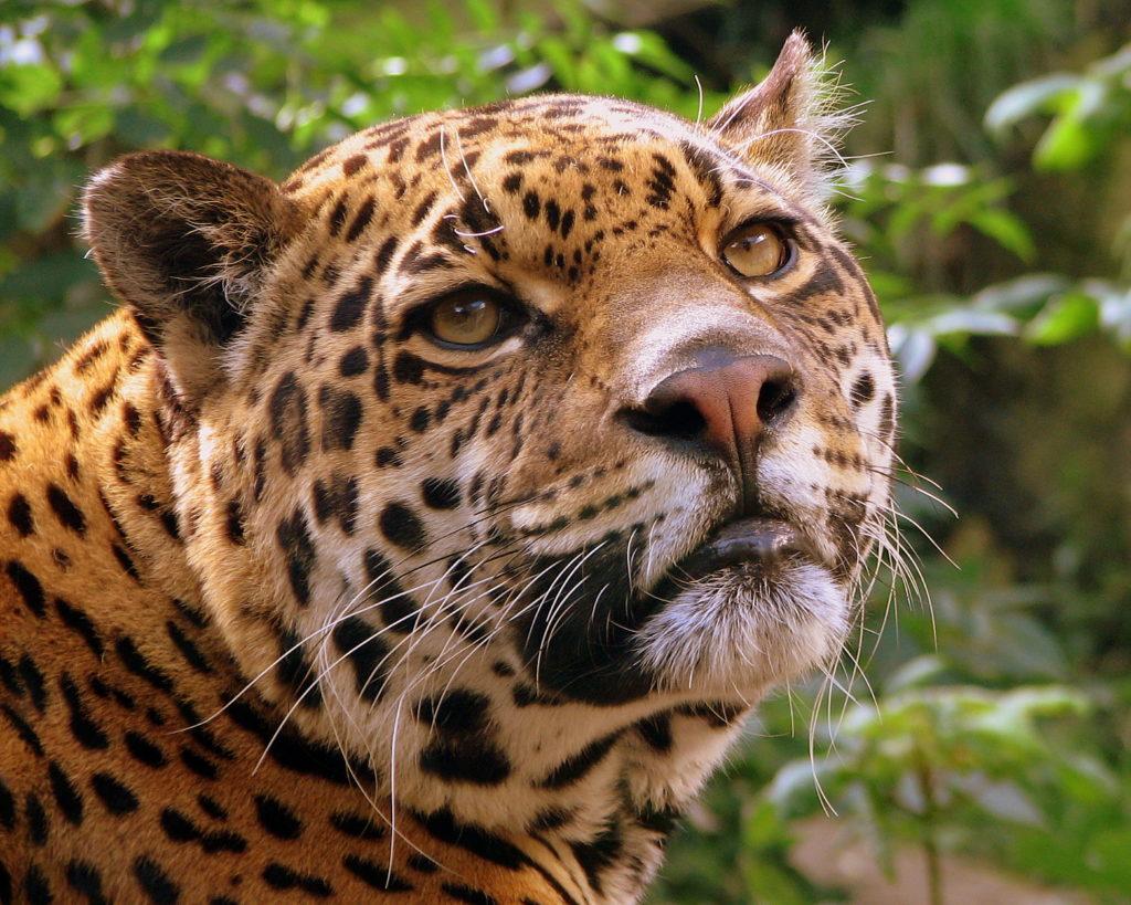 Extinción Cero busca proteger al yaguareté y a otras especies amenazadas. Foto: Pascal Blachier. Licencia: Creative Commons CC BY 2.0.
