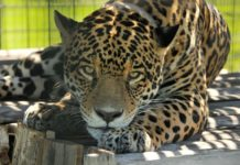 Yaguareté Chiqui. Foto: Cedida por el Ministerio de Ambiente para su publicación.