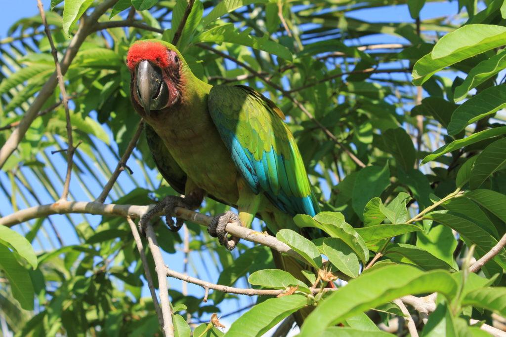 """La guacamaya verde , """"Ara militaris"""", gran símbolo cultural para los Nutabes."""