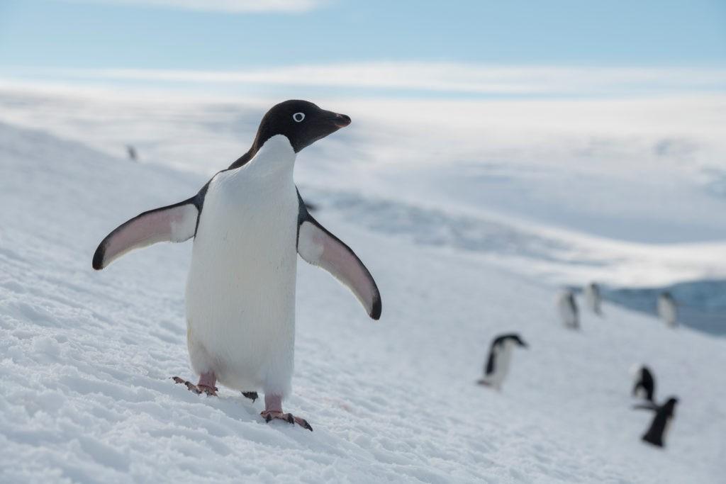Pingí¼inos, ballenas y focas están entre las especies más amenazadas por la pesca del krill en el Océano Antártico. Foto: Christian í…slund / Greenpeace.