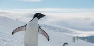 Pingüinos, ballenas y focas están entre las especies más amenazadas por la pesca del krill en el Océano Antártico. Foto: Christian Åslund / Greenpeace.