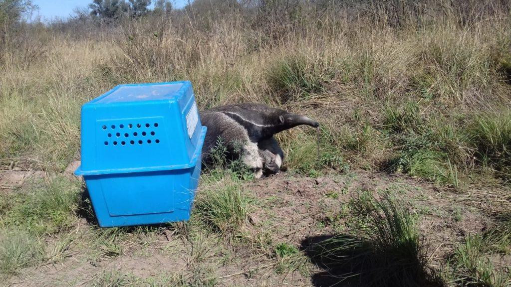 Liberaron a un oso hormiguero en el Parque Nacional El Impenetrable. Foto: Prensa de Parques Nacionales.