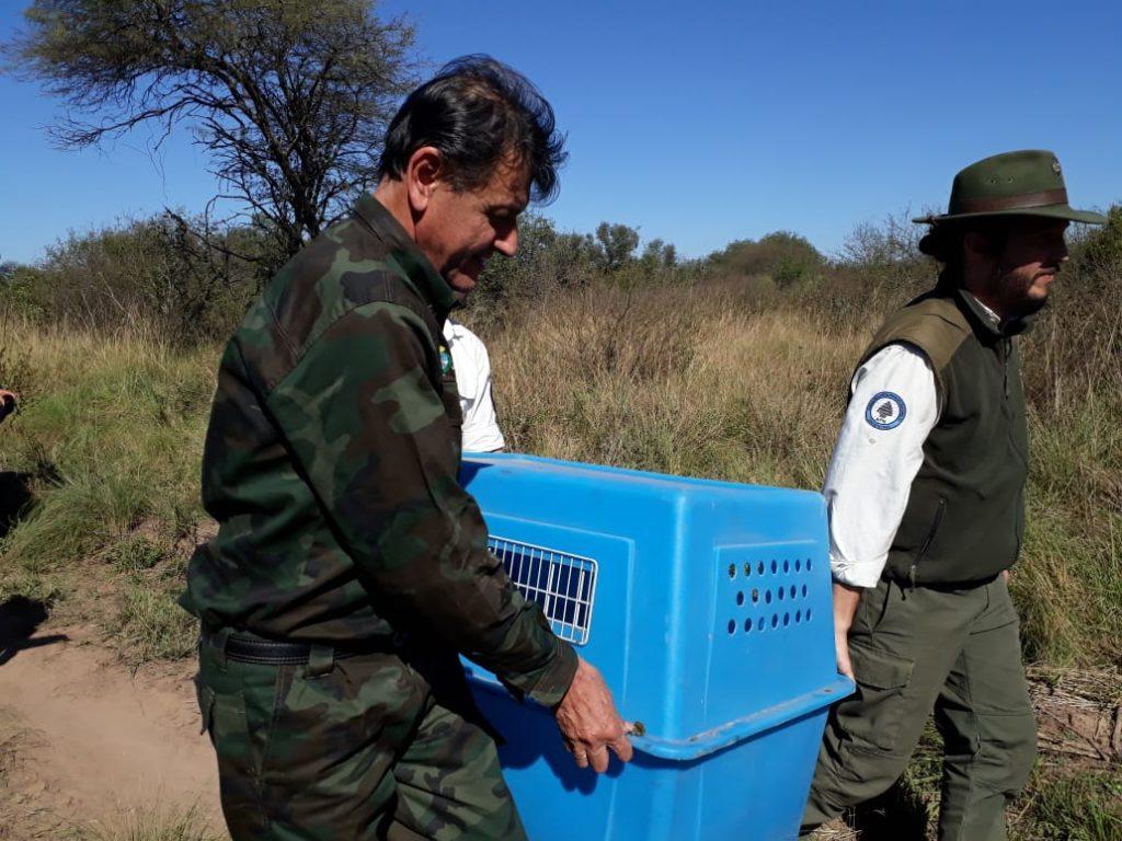 Liberación de un oso hormiguero en el Parque Nacional El Impenetrable. Foto: Prensa de Parques Nacionales.