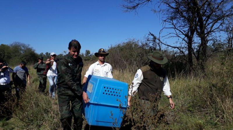Liberaron a un oso hormiguero en el Parque Nacional El Impenetrable.