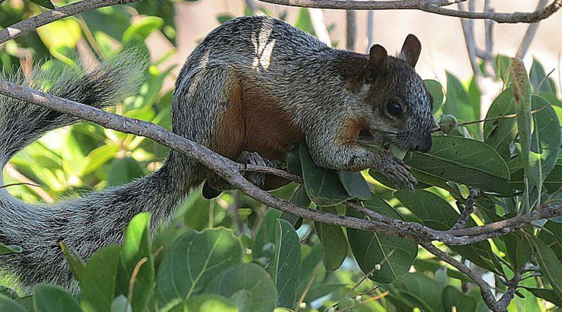 La ardilla de vientre rojo es una especie exótica invasora que causa serios problemas en Argentina