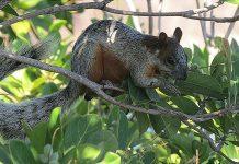 La ardilla de vientre roja es una especie exótica invasora que causa serios problemas en Argentina. Foto: Dick Culbert. Licencia: CC BY-2.0.