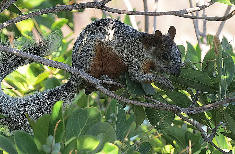 La ardilla de vientre rojo es una especie exótica invasora que causa serios problemas en Argentina. Foto: Dick Culbert. Licencia: CC BY-2.0.