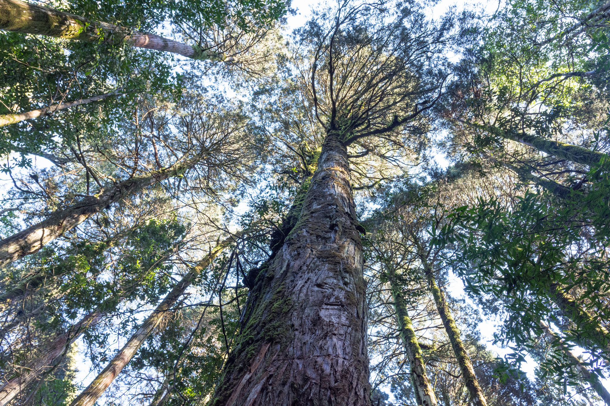 Es necesaria la conservación del alerce para la conservación de la biodiversidad en Chile. Foto Eduardo Schmeda. Licencia: CC BY 2.0.